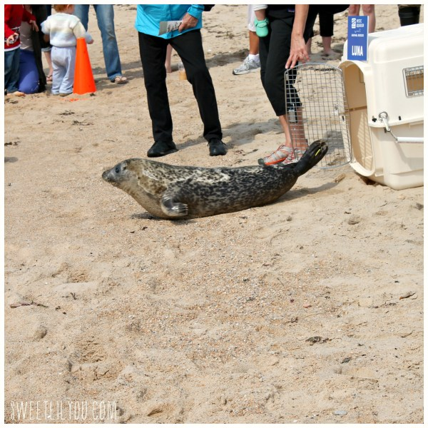 Harbor Seal Luna leaving her crate on the beach
