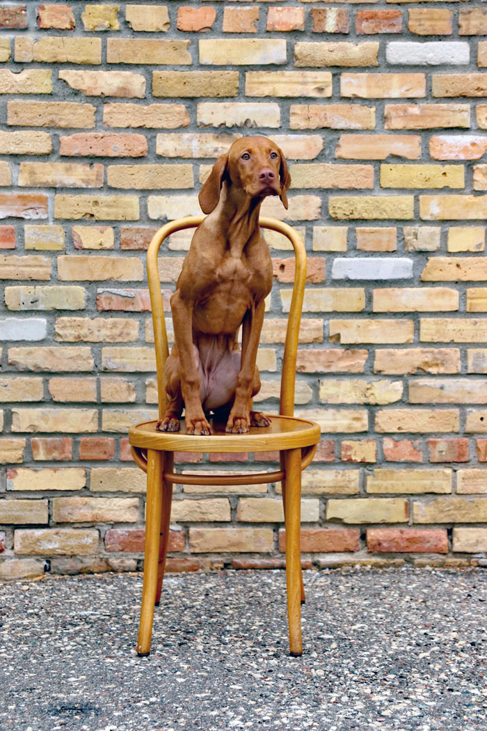 five-month-old luma the vizsla sitting on a chair in front of a brick wall