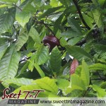 Journey to Biche. Cocoa pod on tree on Plum Mitan Road, Manzanilla in sweet T&T for Sweet TnT Magazine, Culturama Publishing Company, for news in Trinidad, in Port of Spain, Trinidad and Tobago, with positive how to photography.