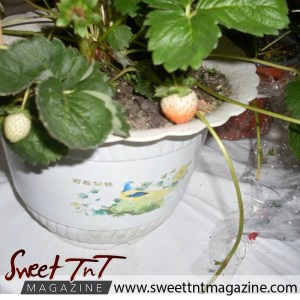 Tableland food fiesta. Strawberry plant.