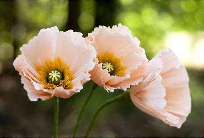 paper poppy flowers