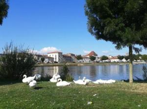 Swans for neighbours