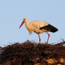 A stork building a nest. At Silves, Portugal