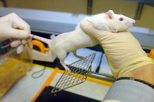 Efecto citoprotector de la terapia con IGF-I en ratas