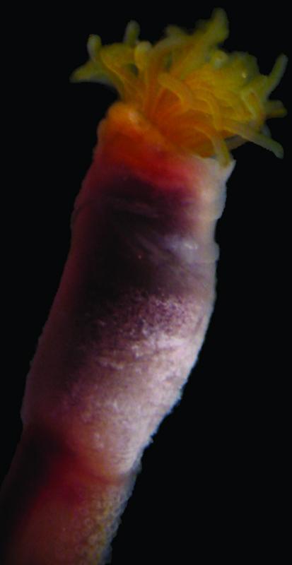 El CSIC y el gusano marino que se parece a Bob Marley