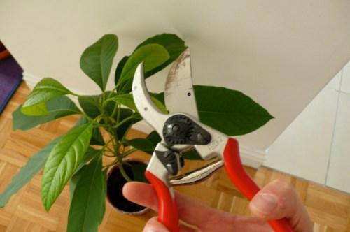 Medium Of Indoor Avocado Tree