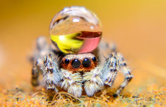 Cute Jumping Spider Wallpaper Jumping Spiders With Water Droplets As Hats Favourites By