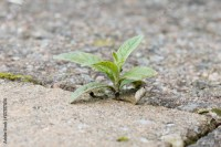 """Weed growing in the cracks between patio stones ..."