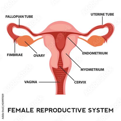 Female reproductive system, image diagram\