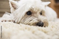 """Cute little white dog laying down on carpet at home ..."