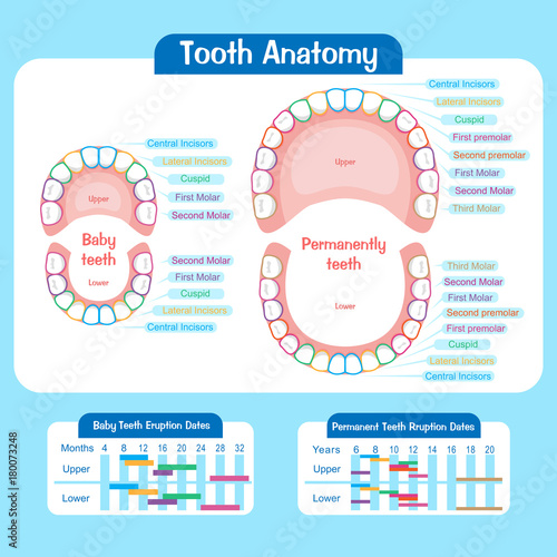 baby tooth chart\