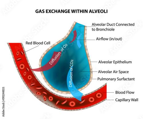 GAS EXCHANGE WITHIN ALVEOLI\