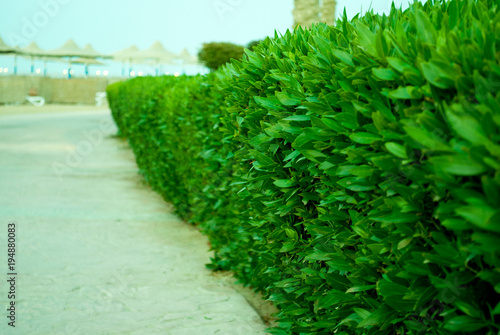 Buxus green bush near of track to sand beach Green boarder of stone