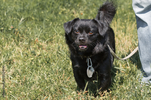Emotional old black dog posing outdoors, cute fluffy pup on a walk - pet babysitter
