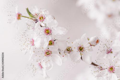 Fotografía Flores de cerezo\