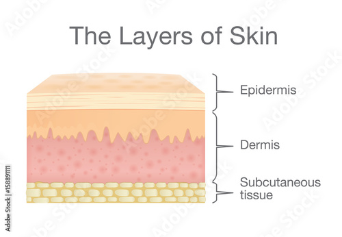 The Layer of Human Skin in vector style and components information