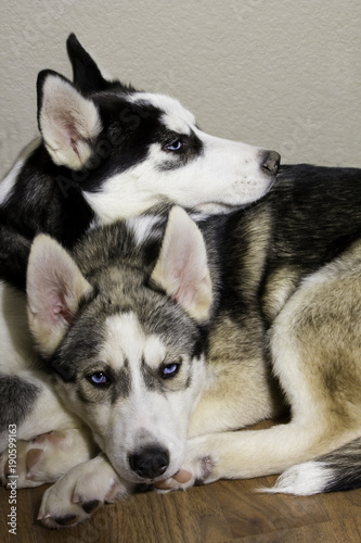 Tan and White Husky, and Black and White Siberian Husky with Blue