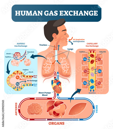 Human gas exchange system vector illustration Oxygen travel from