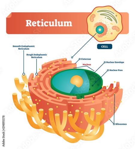 Reticulum labeled vector illustration scheme Anatomical diagram