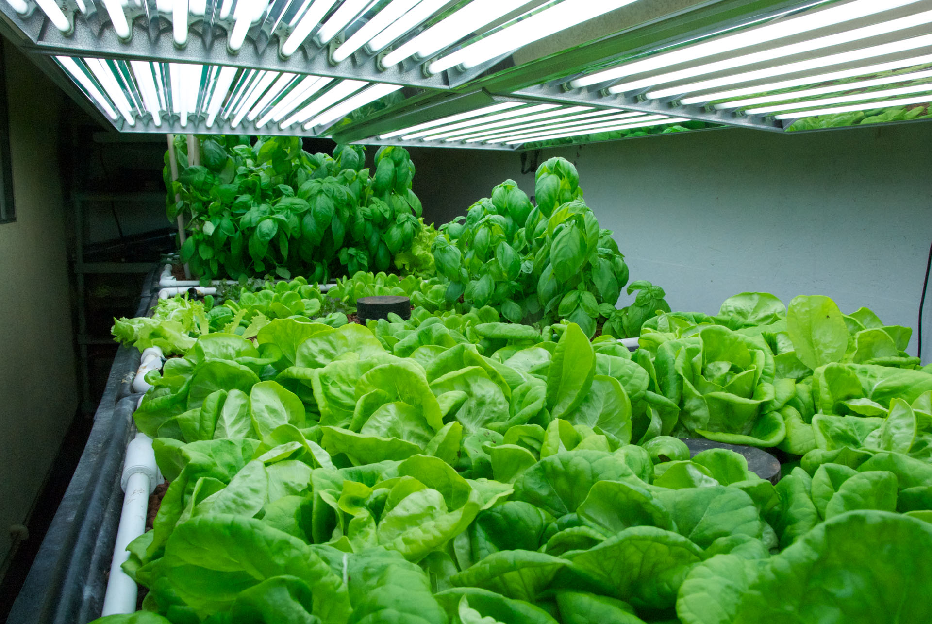 Grow Lights For Indoor Plants 11 Tips For Growing Lettuce Indoors In Containers Gardenoid