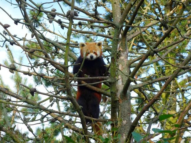 tache de rousseur blog voyage copenhague zoo panda roux
