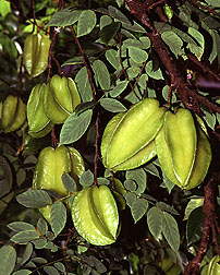 Picture of Balimbing Carambola