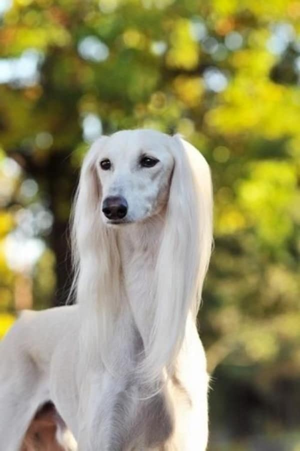 Cute Baby Puppy Pictures Wallpaper 45 Cute Pictures Of Saluki Dog With Puppies Clicks That