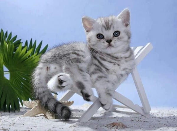 Cute Cat Picture Wallpaper Hd 40 Pictures Of Cute Silver Tabby Kittens Tail And Fur