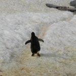 [南極]ペンギンの後ろ姿