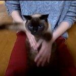 「6kgを超えるデブ猫ゆず」の気持ち良さそうなクロール動画