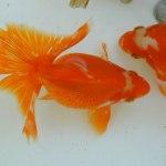 金魚の種類や飼育難易度、色々な金魚の画像をまとめてみました。
