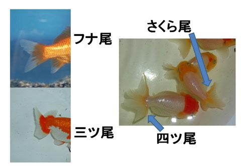 金魚の尾の形