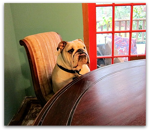 Boz the bulldog at the table