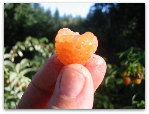 Fallgold everbearing raspberry
