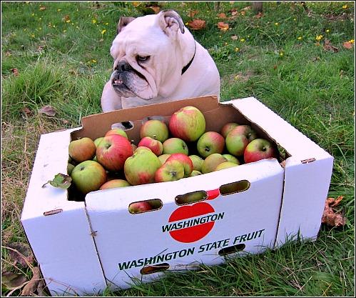 Boz the bulldog case of Bramleys Seedling Apples
