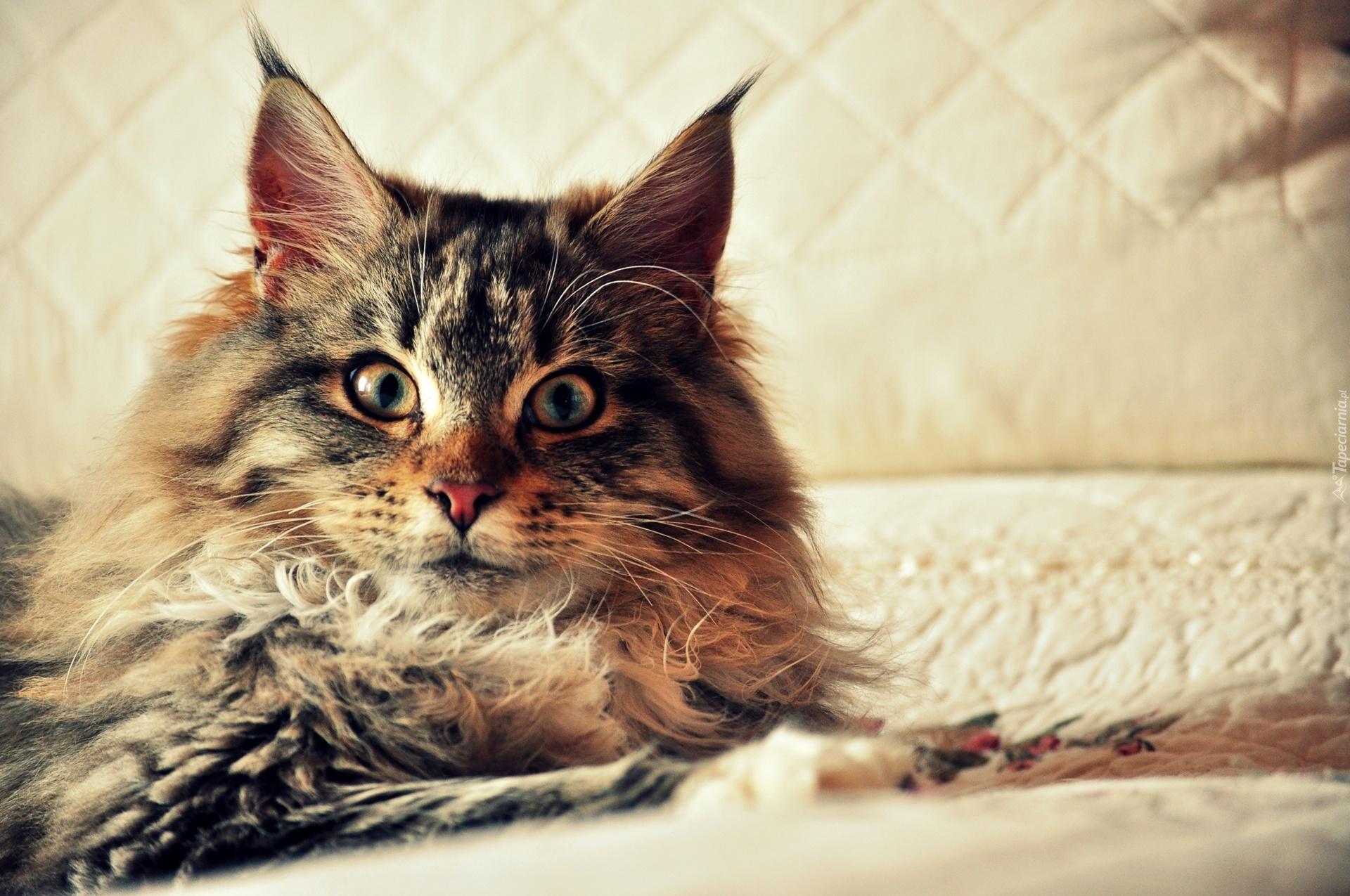 Cute Little Kitten Desktop Wallpapers Kot Norweski Leśny Ł 243 Zko