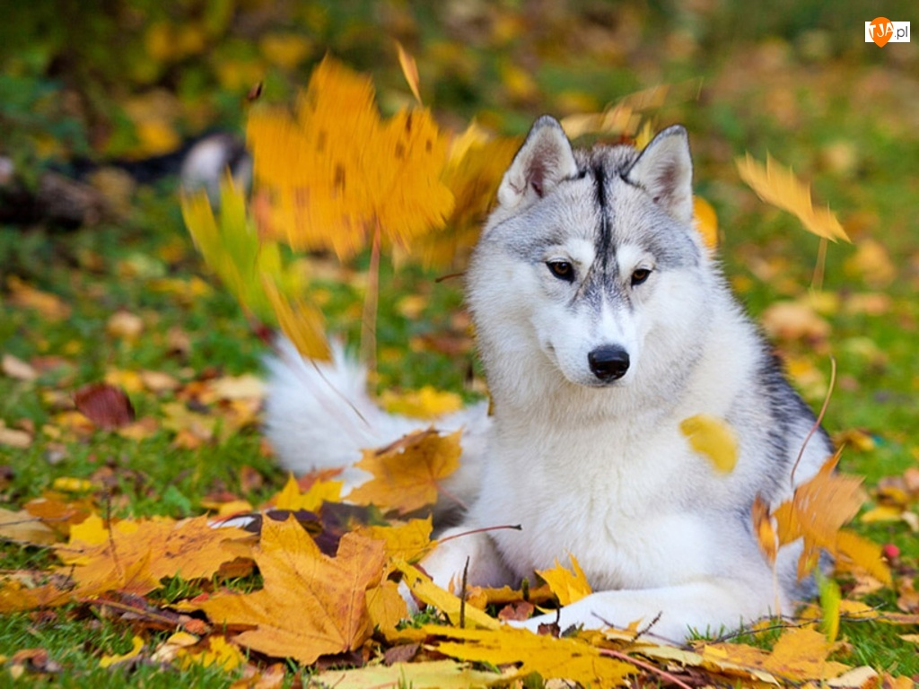 Fall Wallpaper With Animals Jesień Pies Husky