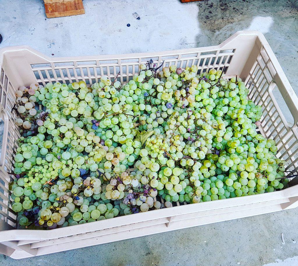 corte moschina winogrona