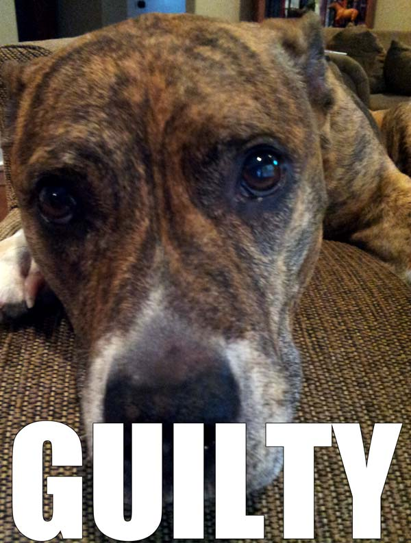 Sophie the Pit Bull is Guilty!