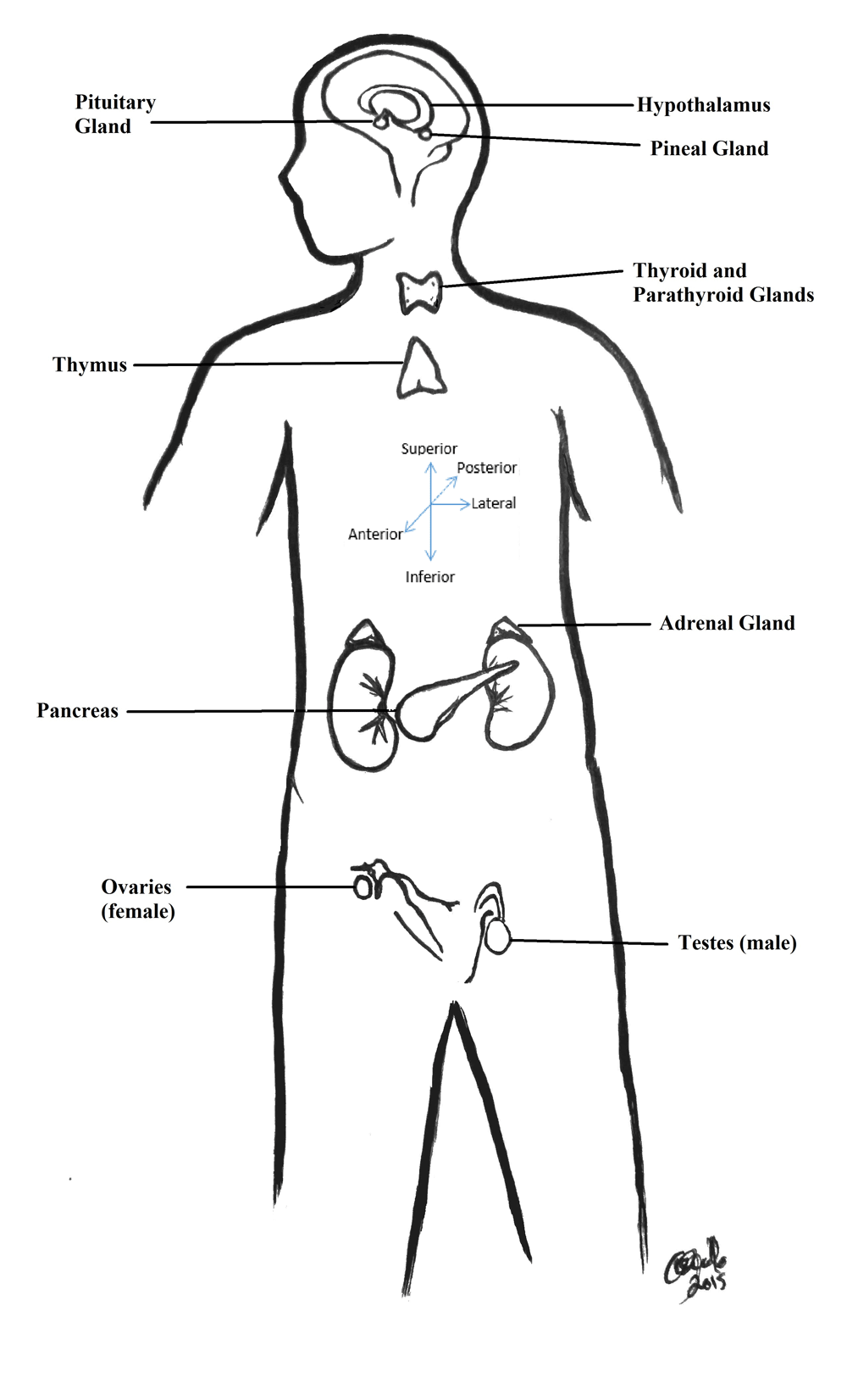 human tissue diagram auto electrical wiring diagram  reinventing the tone control