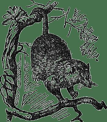 opossum-47631_640