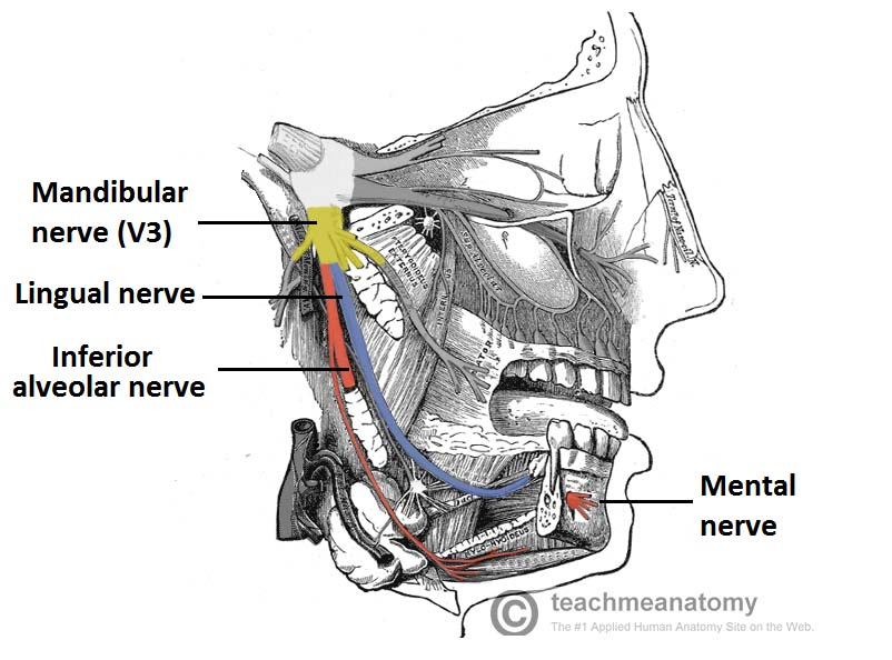 The Mandibular Division of the Trigeminal Nerve (CNV3) - TeachMeAnatomy