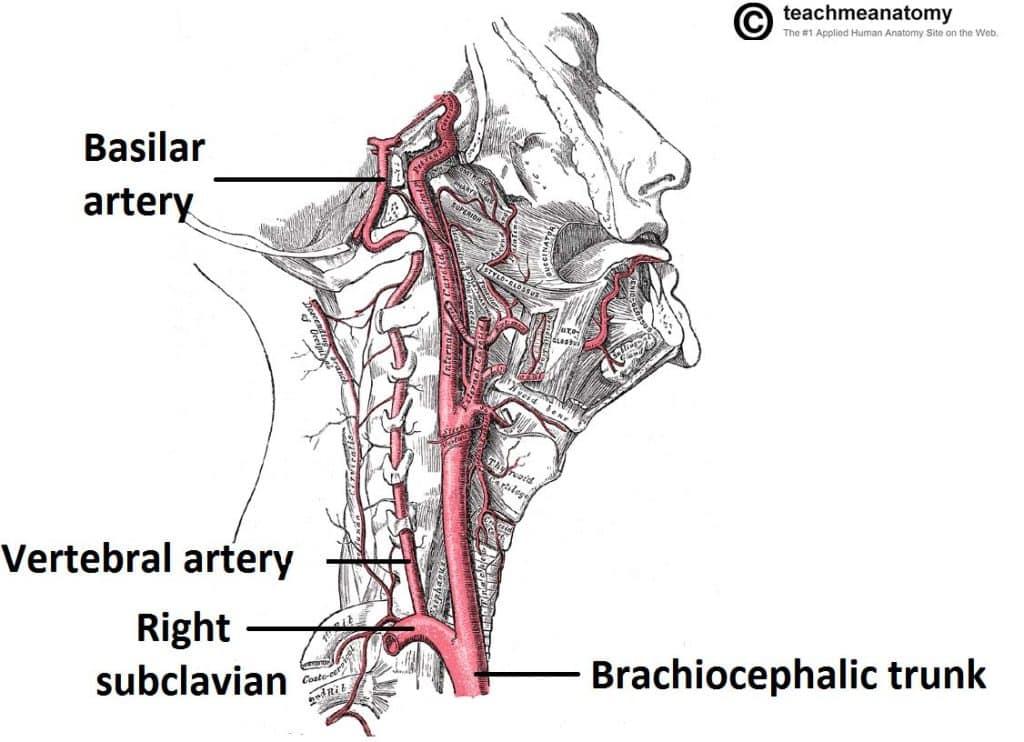 Major Arteries of the Head and Neck - Carotid - TeachMeAnatomy