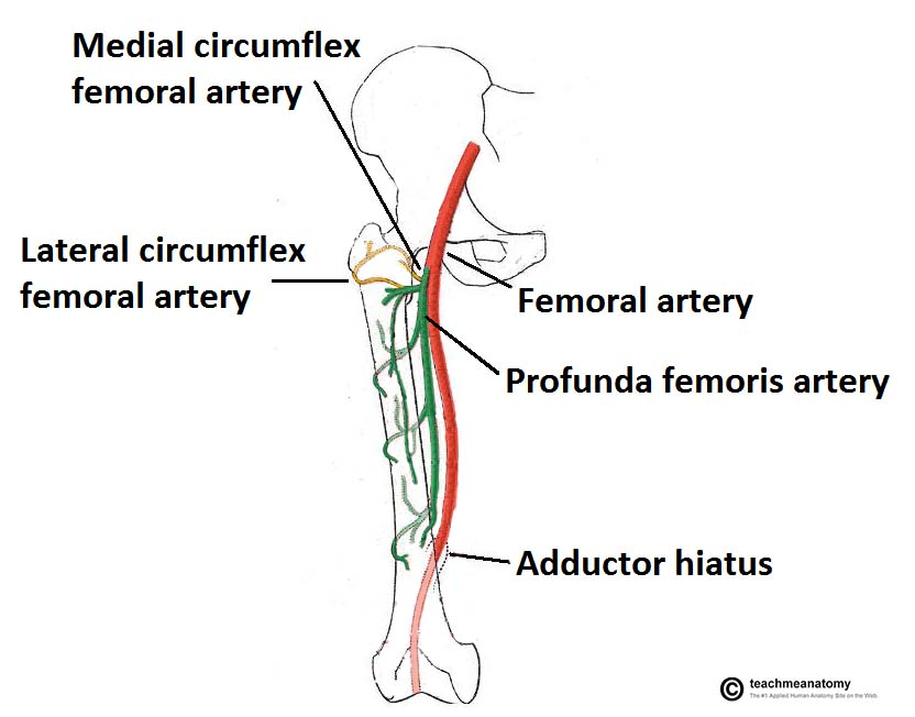 Arteries of the Lower Limb - Thigh - Leg - Foot - TeachMeAnatomy