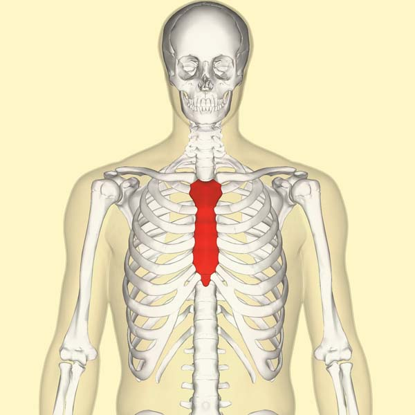 The Sternum - Body - Manubrium - Xiphoid - TeachMeAnatomy