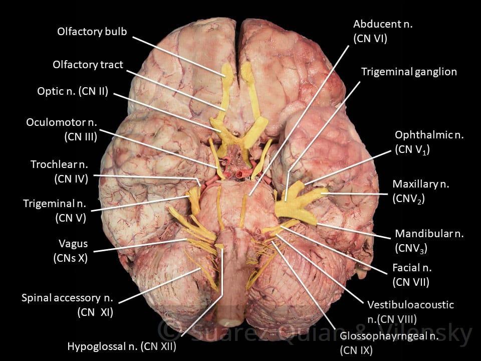 Summary of the Cranial Nerves - TeachMeAnatomy