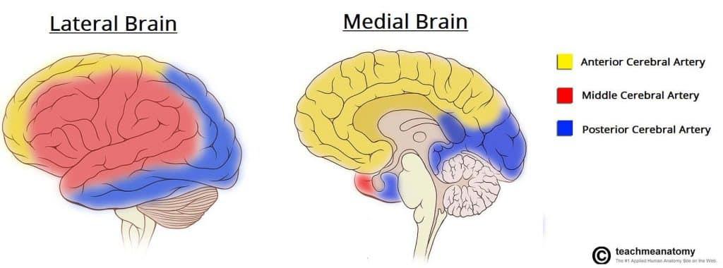 The Cerebrum - Lobes - Vasculature - TeachMeAnatomy