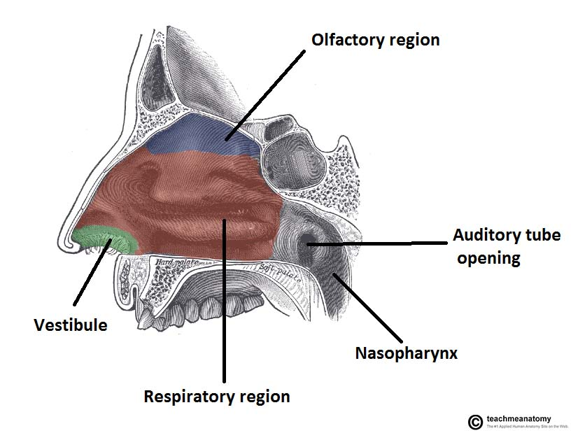 The Nasal Cavity - Structure - Vasculature - Innervation