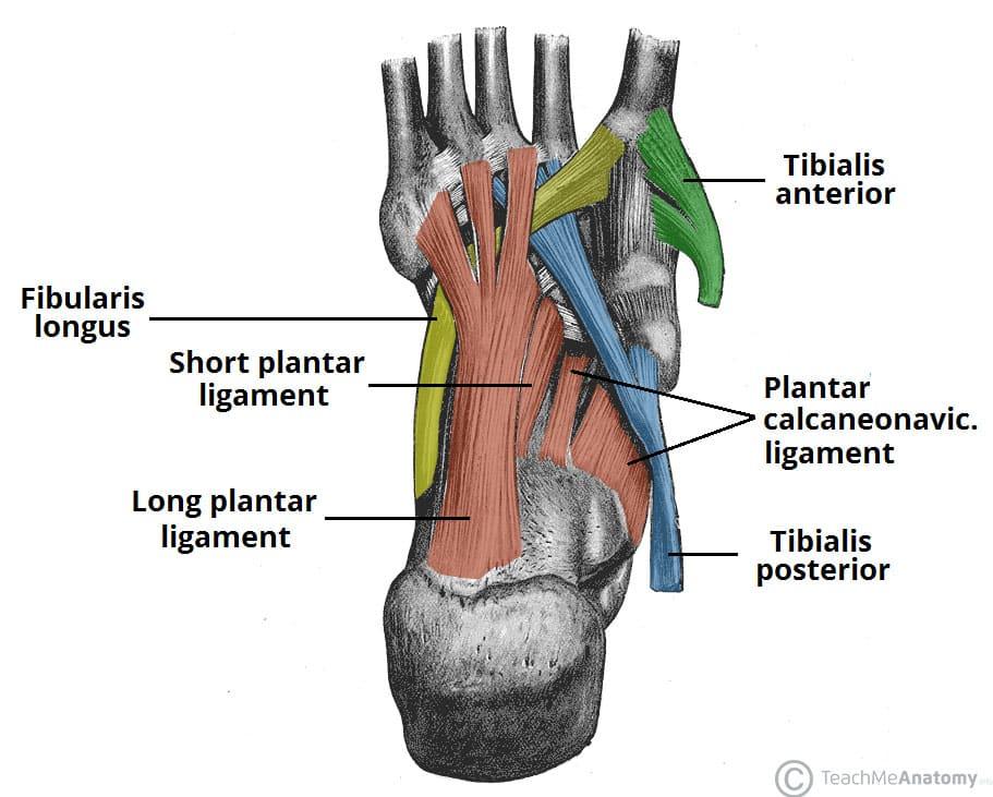 The Arches of the Foot - Longitudinal - Transverse - TeachMeAnatomy