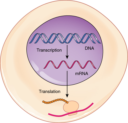 Translation of DNA - Initiation - Elongation - Termination